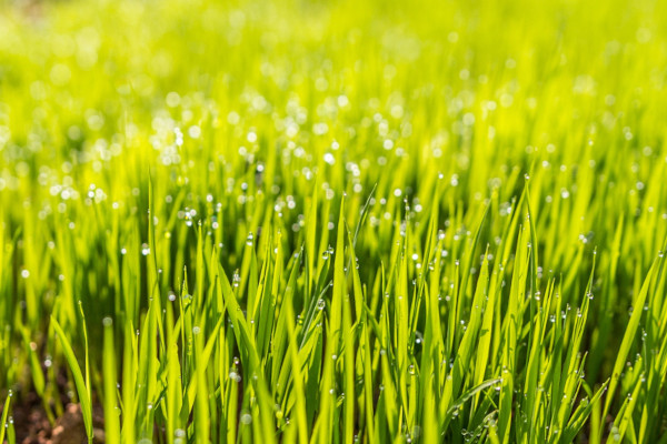 Reseed-Weedy-Lawn-feat